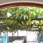 Lemon grove between hotel and swimming pool