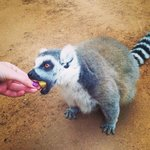 Very friendly lemur