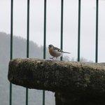 friendly Balcoes chaffinch