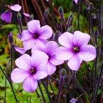 Madeiran geranium