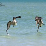 Diving brown pelicans