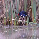 Colourful water fowl in the reeds