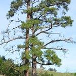 Towering pine tree dwarfs walkers below
