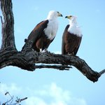 world-famous African Fish Eagle