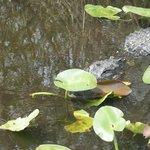 One of many gator spottings