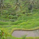 Tegalalang Rice Terrace (2)