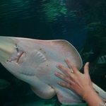 tiburon raya
