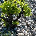 famous soils of Rhone vineyards