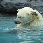 白熊ショ- 10時50分。 座る場所がありエサやりが見られます。迫力あるので大人から子供まで楽しめます。
