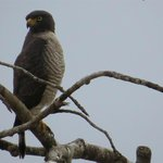 Roadside Hawk, one of may along the river