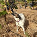 Chester our winery dog just can't keep his paws off the grapes!