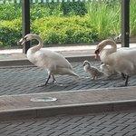 swans walking in front of the door of the hotel