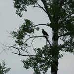 One of the many bald eagles we saw