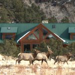 Elk Visiting the Lodge