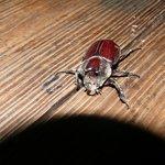 Cool beetle at Chaa Creek