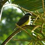 Bird at Chaa Creek during the early morning bird walk
