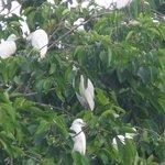 Petulu herons