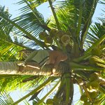 Ubud coconut tree climber