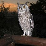 Nandi, the resident Spotted Eagle owl