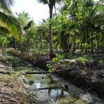 Coconut farm near Tha Kha market