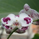 Beautiful orchids growing in Yaang Come Village