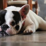 Griere the resident French bulldog (spelling?)