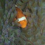 More clownfish