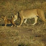 Lioness and cub was a highlight