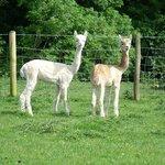 Alpacas - Zumba and Zebedee