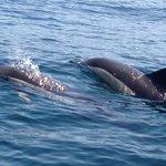 Gemeiner Delphin