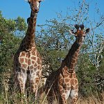 Giraffe Babies