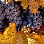 Fall Fruit--Napa Valley, CA