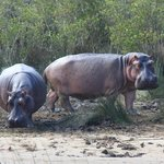 Two Very Large Hippo
