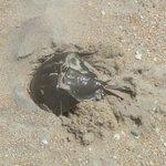 Horseshoe Crab we found on the beach.
