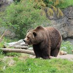 Grizzly bear at Woodland Park Zoo