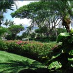 View from Lanai, bougainvillia hedge MKB115