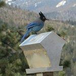 Steller's Jay at feeder