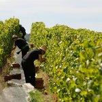 Hand harvesting the vineyard