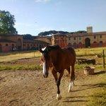 i cavalli a san rossore