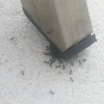 Ants are a huge problem