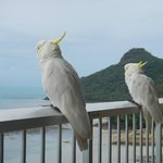 Friendly cockatoos - don't feed them!