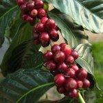 Ripe Coffee Cherrys