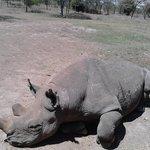 Baraka the visually impaired Rhino