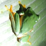 Flying red-eyed tree frog