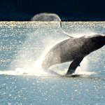 Whale in Auke Bay