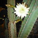 Цветущий кактус (распускается только ночью)