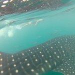 Whale Shark Snorkling