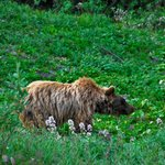 bear from bus to camp denali
