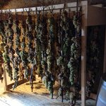Drying grapes for wine