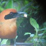 Motmot, oportunidad de observar esta ave mientras se desayuna